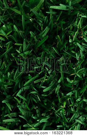 Green natural grass view from top with morning dew