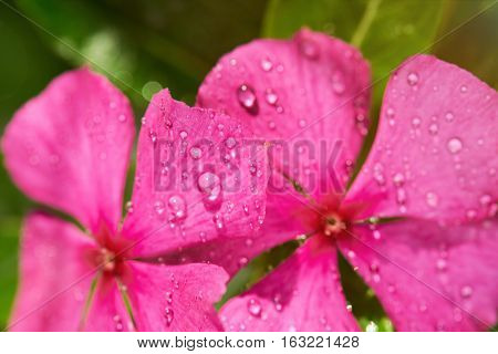 Morning dew on pink flower macro. Water dew on pink plant