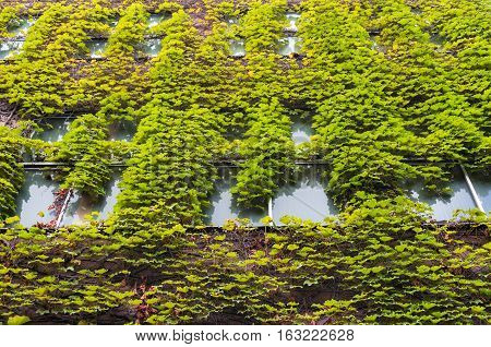 Building With Green Ivy Covered Wall