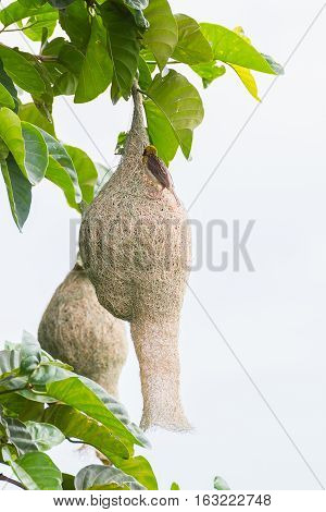 Baya Weaver Bird Nest On Tree