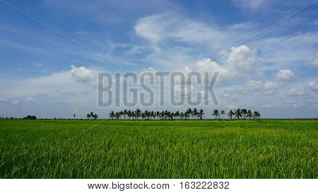 Green paddy field view with tree and blue sky background.