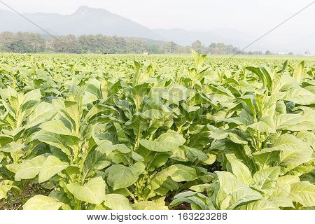 Field Nicotiana Tabacum