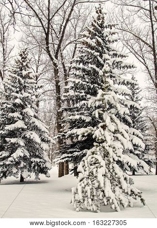 Pine trees after heavy snowfall in small town park in the Canadian Foothills of the Rock Mountains