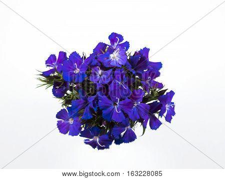 Beautiful many blue flowers on white background.