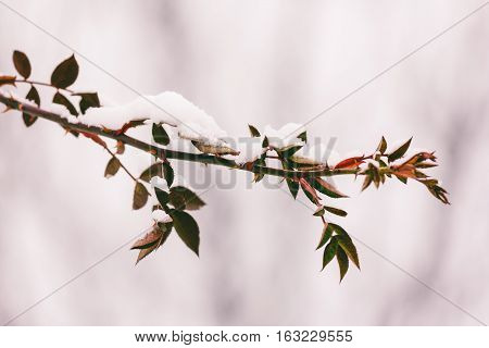 the branch of dog rose with thorns and red leaves in the snow in the winter. close-up selective focus. tinted photo