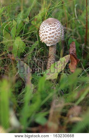 Detail of the ragged parasol mushroom in the grass