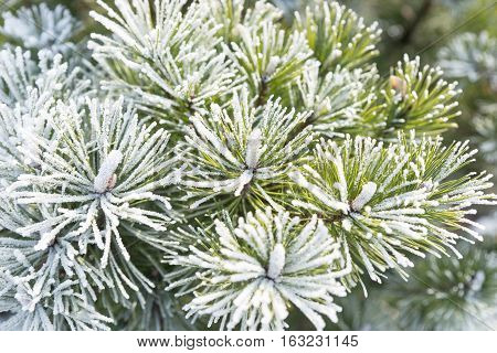 Pine branch with long needles covered with hoarfrost