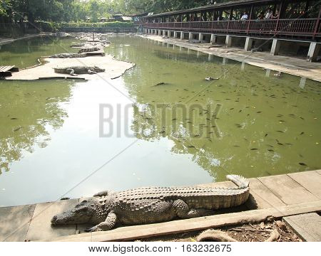 Nakhon Pathom-THAILAND : December 10 2016 Crocodiles Resting at Crocodile Farm and Movement of Tourist