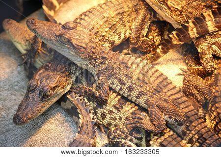 Crocodile Farm In Thailand