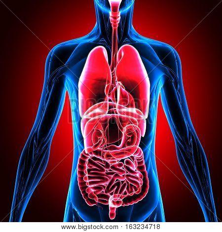3d illustration human body organs .human body system.