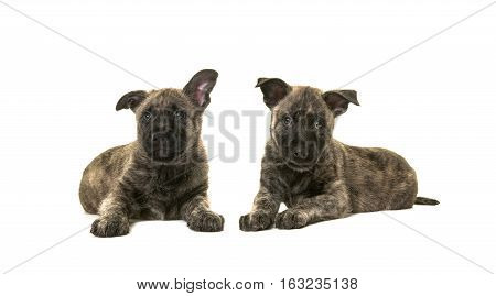 Two dark cute wirehaired dutch shepherd puppy dogs lying down on the floor isolated on a white floor