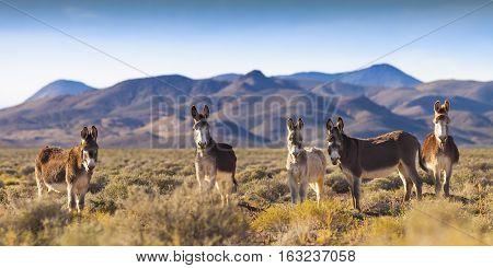 Wild Burros in Nevada Landscape near Mina, NV on a wild burrow preserve