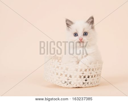 Cute baby rag doll longhair baby cat with blue eyes in a white lace basket on a creme soft white background
