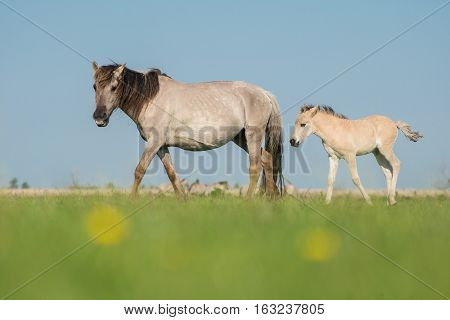 A Konik mare and a konik foal on a blue sky and green grass on a sunny day