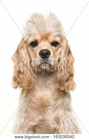Cute blond cocker spaniel dog portrait facing the camera seen from the front isolated on a white background