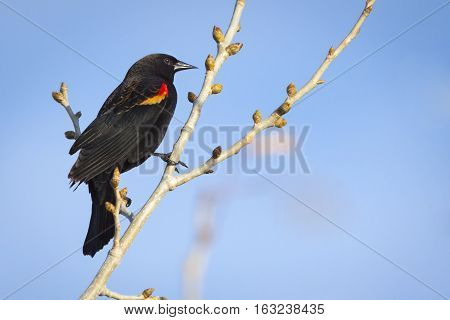 Perched Red Winged Black Bird over blue sky