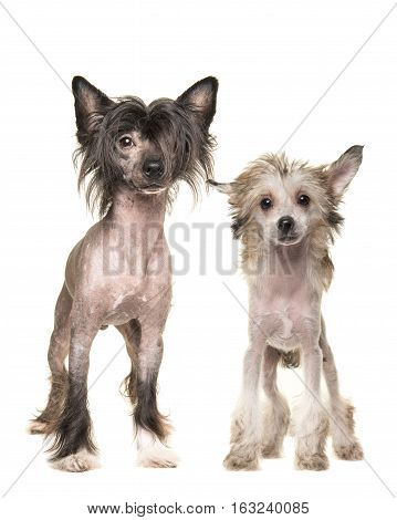 Two naked chinese crested dogs standing and facing the camera isolated on a white background