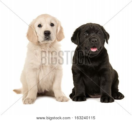 Cute blond golden retriever puppy and black labrador retriever puppy sitting next to each other isolated on a white background