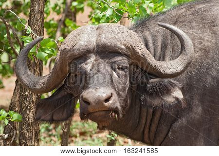 African buffalo (Syncerus caffer) Kruger National Park, South Africa