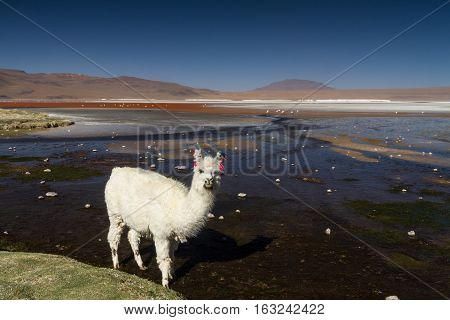 White Alpaca at Laguna Colorada Altiplano Bolivia