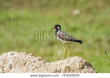 Red-wattled lapwing in Thabbowa sanctuary in Puttalam, Sri Lanka ;specie Vanellus indicus family of Charadriidae