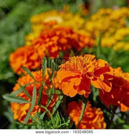 orange marigold flowers in the garden strong bokeh