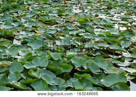 the plantation of water lily leaf in garden