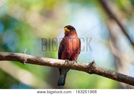 Bird Broad-billed Roller (eurystomus Glaucurus) Madagascar
