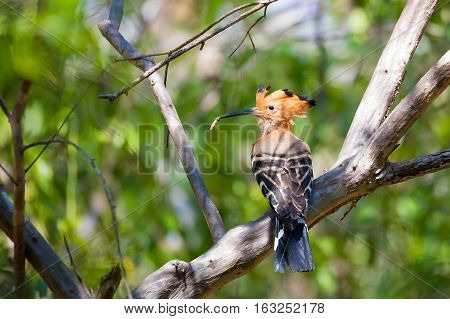 Endemic Bird Madagascan Hoopoe Madagascar