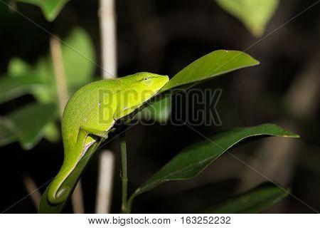 Perinet Chameleon, (calumma Gastrotaenia) Madagascar