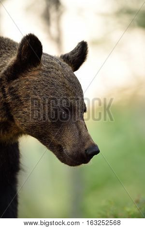 brown bear portrait. side view of brown bear face.