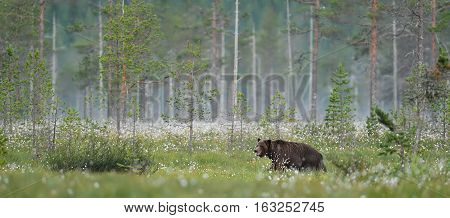 brown bear in a taiga landscape misty morning summer.
