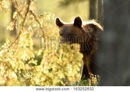 Brown bear in backlit in summer. Bear contour in backlit.