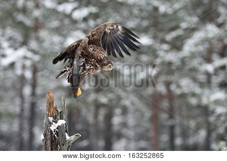 Eagle take-off. White-tailed eagle take-off in winter snowy trees on background.