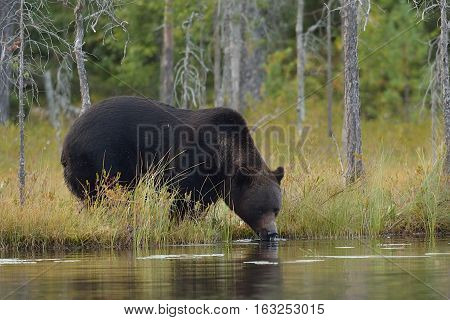 Brown bear drinking water from pond. Thirsty bear.