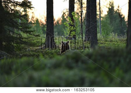 Brown bear peeking from behind a hill in forest landscape