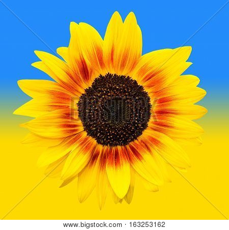 Bright yellow sunflowers head on yellow and blue gradiend background. Yellow sunflower and Ukrainian flag background. Summer flowers. Natural sunflower on a sunny background look like ukraine flag