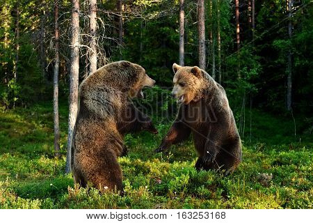 Brown bear fight. Brown bear aggression. Bears fighting.