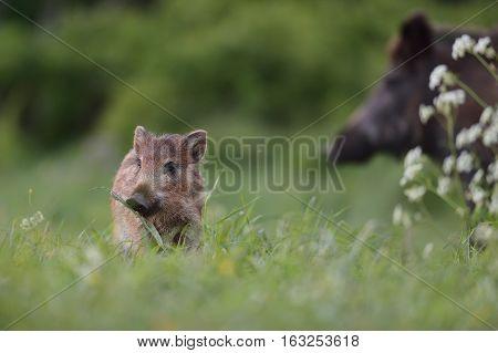 Wild boar piglet. Small wild boar. Young wild boar.