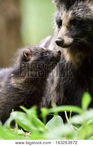 Raccoon dog pup with mother. Raccoon dog family. Animal love.