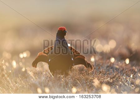 Black grouse gorgeous pose. Black grouse playing.