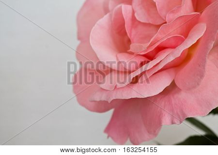 one pink rose closeup on a white background