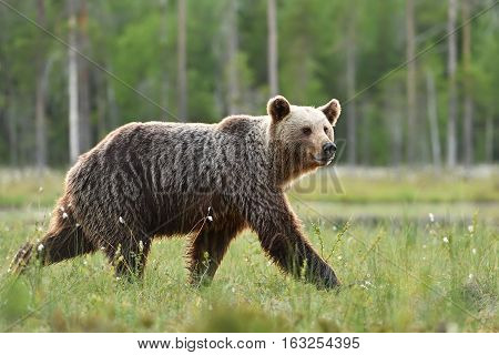 brown bear walking fast in the bog in Finland taiga