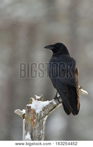 Raven (Corvus corax) on tree at snowfall. Winter.