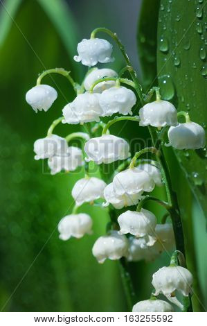 Blooming lilies of the valley in drops of rain.