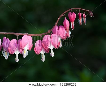 Morning Dew On Dicentra