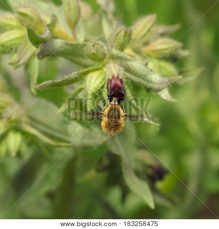 Bee-fly On Flower