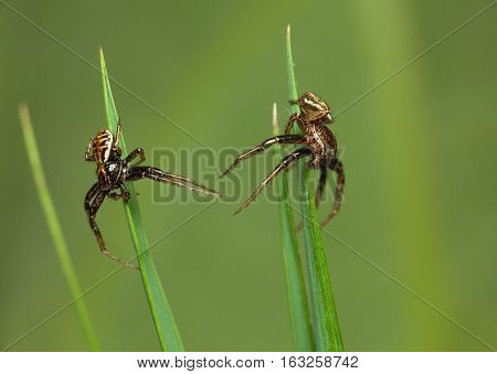 Two Spider Meets In Grass