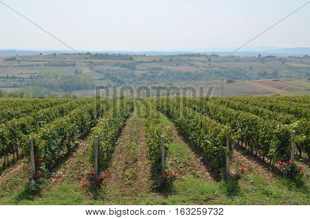 Vineyard And Distant Countryside