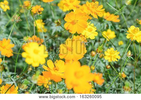 yellow cosmos flower in nature garden - Cosmos sulphureus